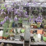 Springtime Wisteria in the potting area