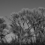 Moon over Cottonwoods, photo by Bill Rau