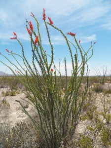 This is the ocotillo plant for which the room is named